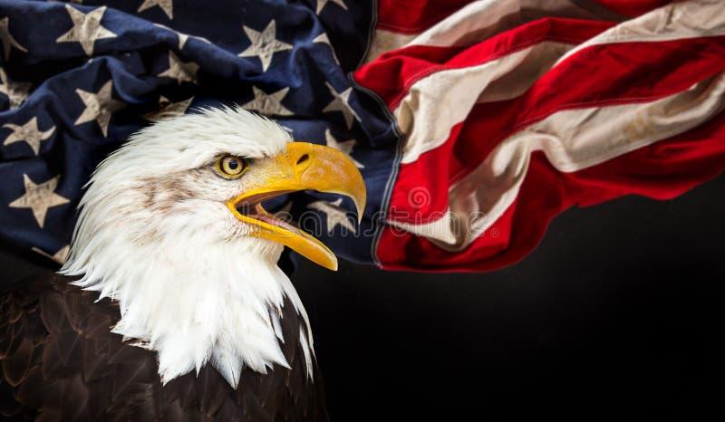 Águila calva con el indicador americano imagenes de archivo
