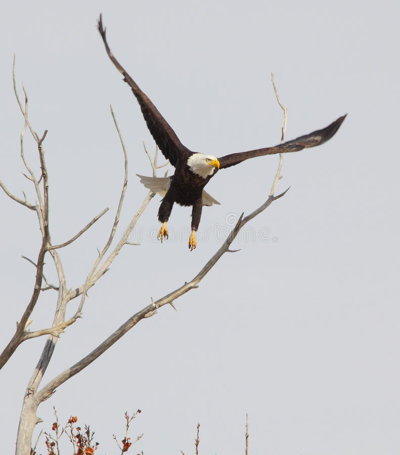 Águila calva de aviones imagenes de archivo