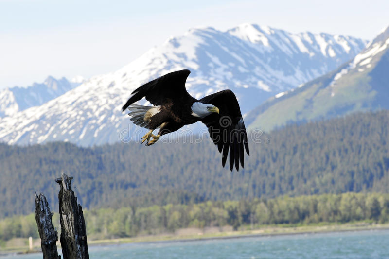 Águila calva en Alaska imagen de archivo libre de regalías