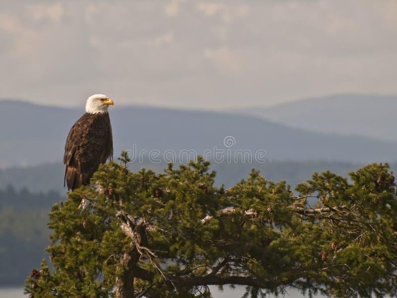 Águila calva en copa de árbol imagen de archivo libre de regalías