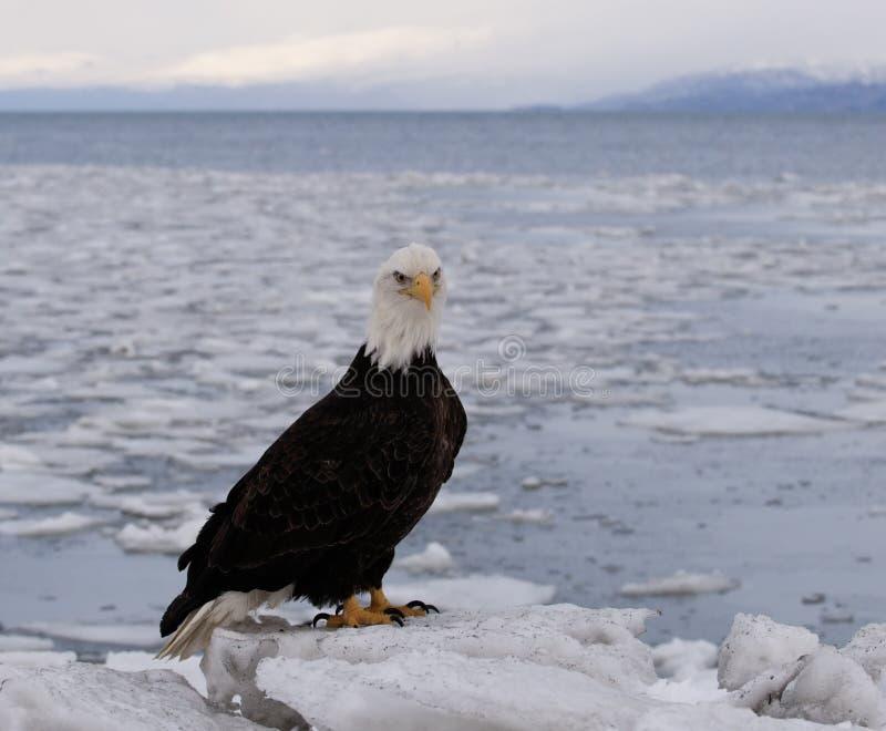 Águila calva en flujo del hielo imagen de archivo