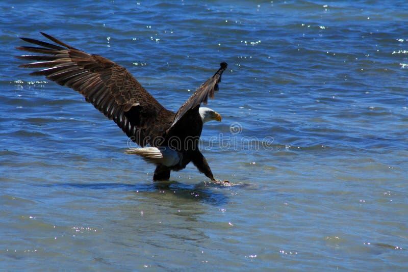 Águila calva en la batería de la arena con los pescados foto de archivo