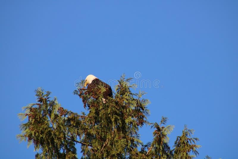 Águila calva en un árbol fotos de archivo