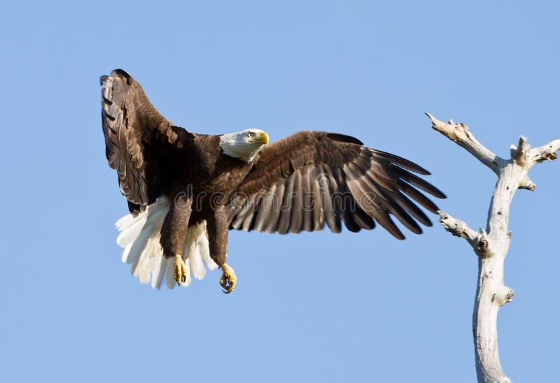 Águila calva en vuelo fotografía de archivo