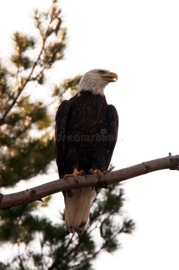 Águila calva encaramada en árbol imágenes de archivo libres de regalías