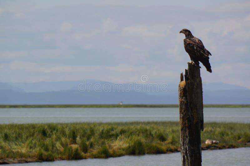Águila calva joven fotos de archivo