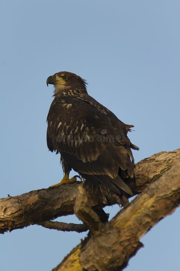 Águila calva juvenil en árbol imágenes de archivo libres de regalías