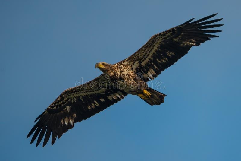 Águila calva juvenil en vuelo foto de archivo libre de regalías