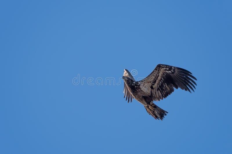 Águila calva juvenil en vuelo fotografía de archivo