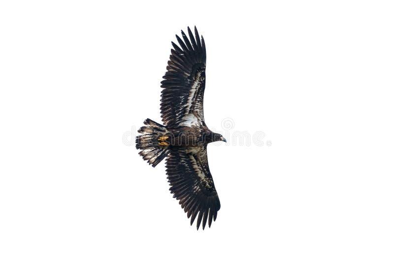 Águila calva juvenil en vuelo fotos de archivo