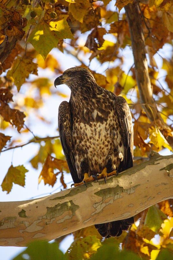 Águila calva juvenil encaramada en un árbol rodeado por el follaje de otoño fotos de archivo libres de regalías