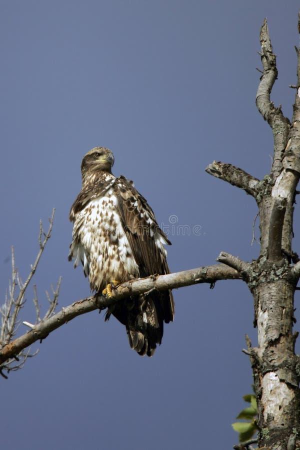 Águila calva no madura encaramada imagenes de archivo