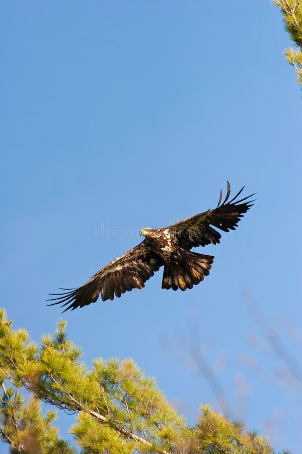 Águila calva no madura salvaje en vuelo imagenes de archivo