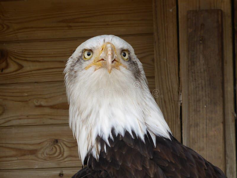 Águila calva que mira hacia fuera el mundo foto de archivo libre de regalías