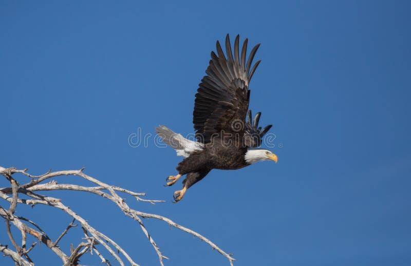 Águila calva que saca de perca en árbol muerto imagen de archivo