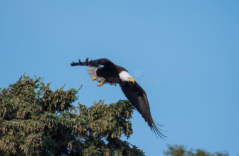 Águila calva que toma vuelo de un árbol fotos de archivo