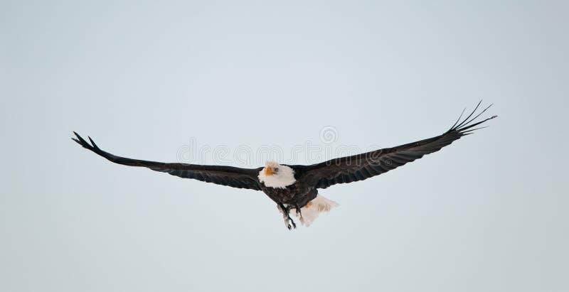 Águila calva que vuela foto de archivo libre de regalías