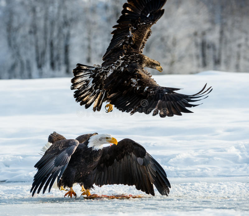 Águila calva que vuela imagenes de archivo