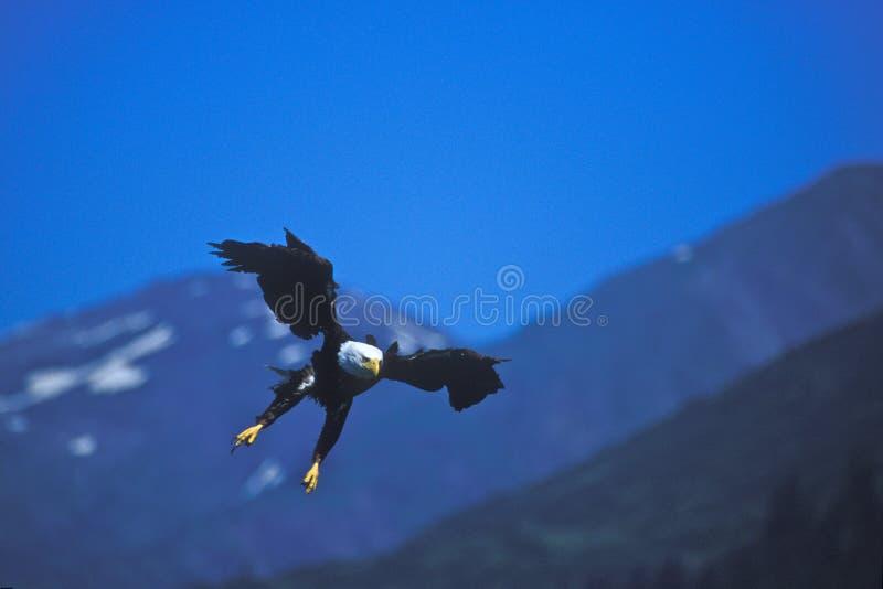 Águila calva Swooping adentro imagen de archivo