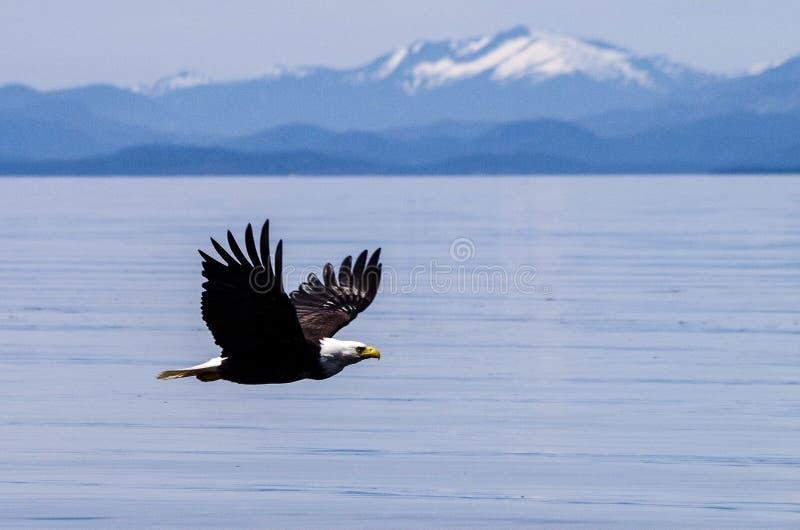 Águila calva y montañas foto de archivo libre de regalías