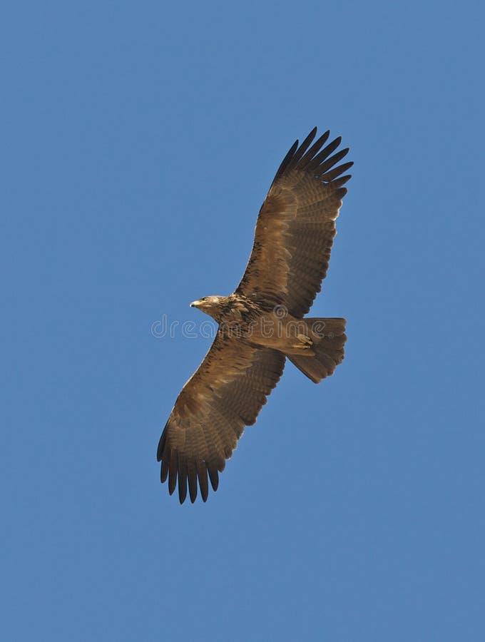 Águila coronada en vuelo foto de archivo