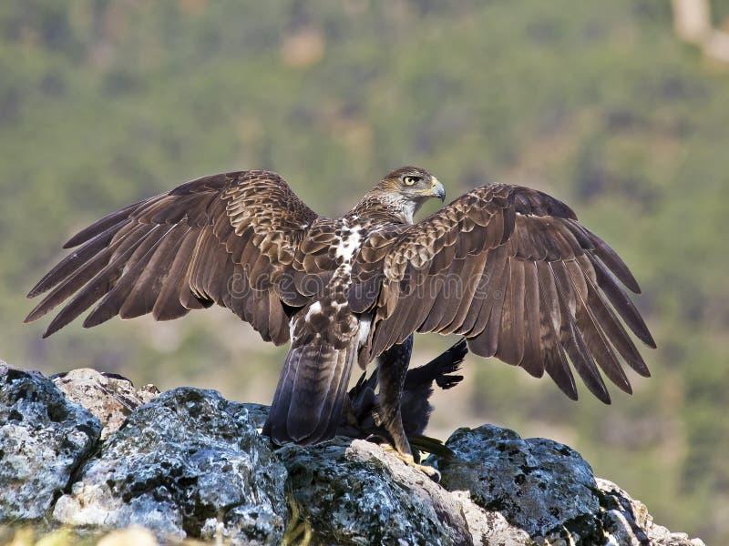 Águila de Bonelli fotos de archivo libres de regalías