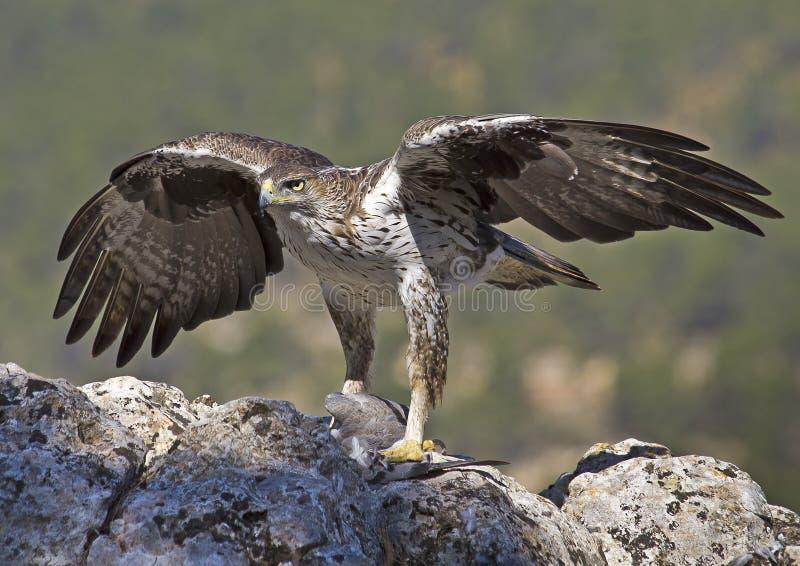 Águila de Bonelli fotografía de archivo libre de regalías