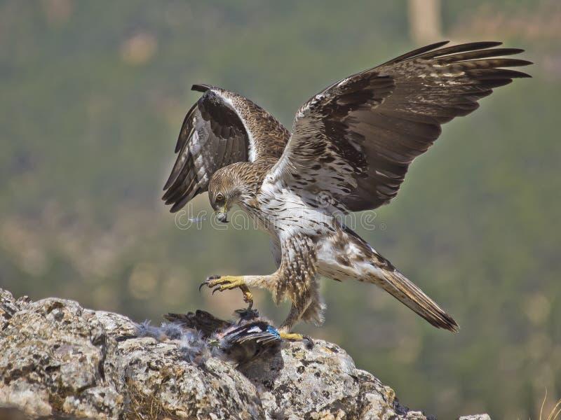 Águila de Bonelli foto de archivo