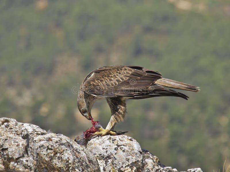 Águila de Bonelli imágenes de archivo libres de regalías