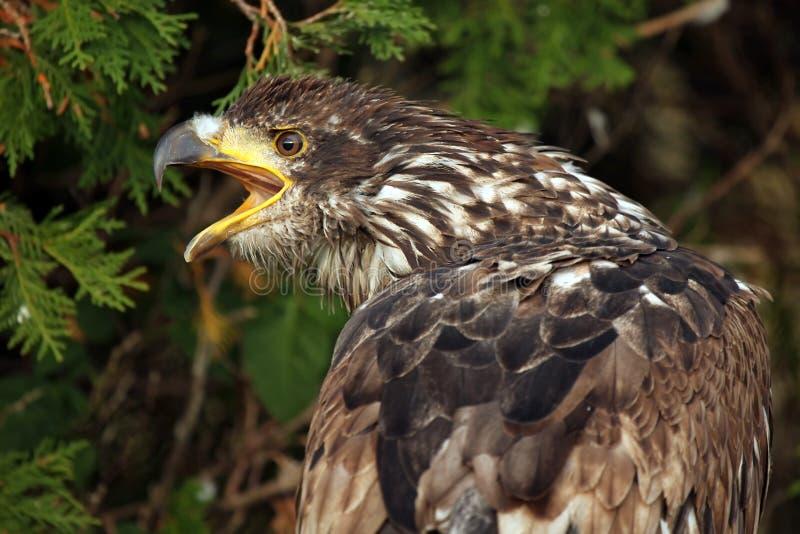 Águila de griterío imagenes de archivo