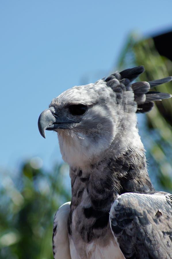Águila de Harpy imagen de archivo