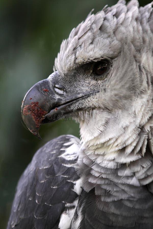 Águila de Harpy imagenes de archivo