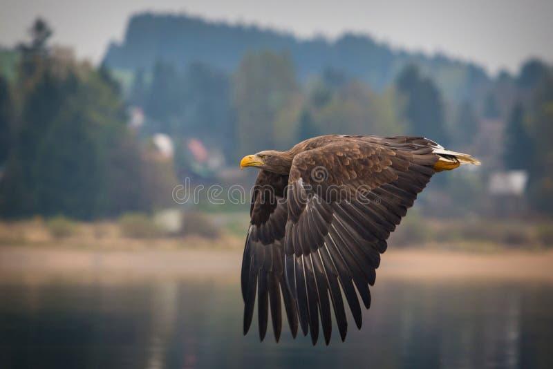 Águila de mar imagenes de archivo