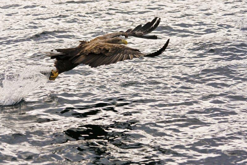 Águila de mar imagen de archivo libre de regalías