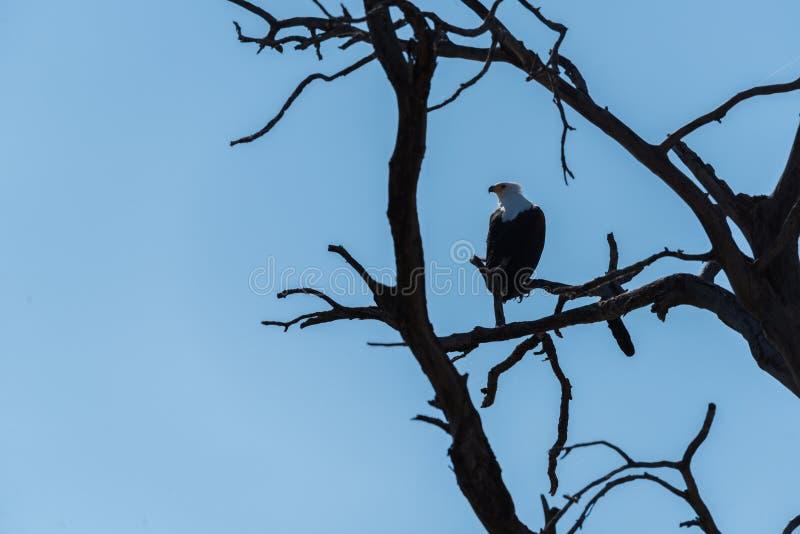 Águila de mar africana encaramada en árbol muerto fotografía de archivo libre de regalías