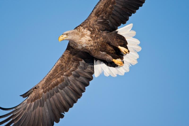 Águila de mar Blanco-Atada fotos de archivo libres de regalías