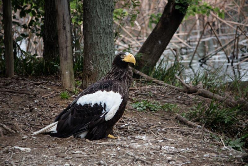 Águila de mar de Steller fotografía de archivo