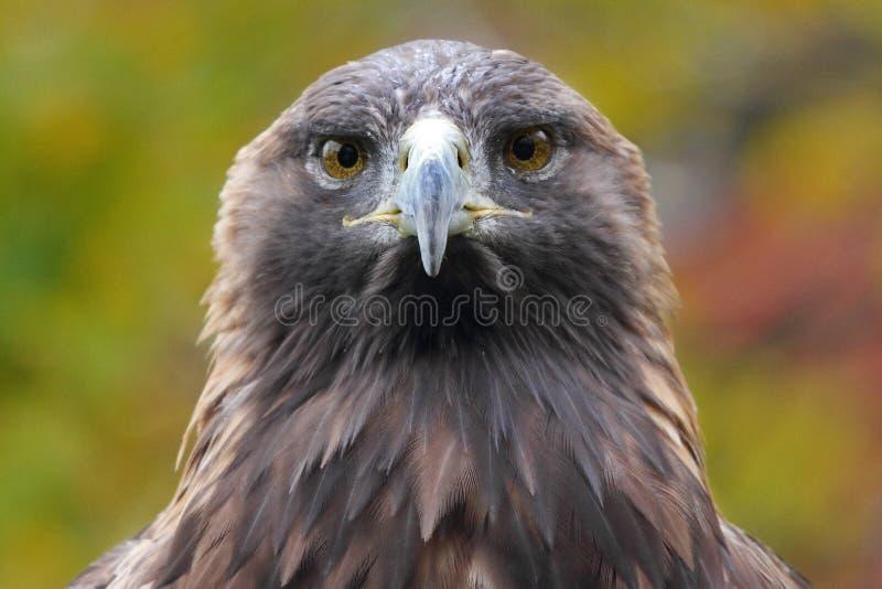 Águila de oro fotos de archivo