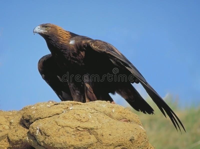 Águila de oro que busca la presa imágenes de archivo libres de regalías