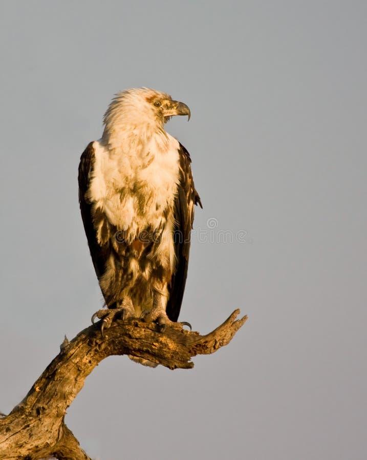 Águila de pescados imágenes de archivo libres de regalías
