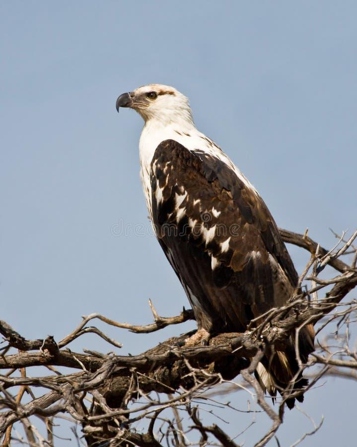 Águila de pescados fotos de archivo libres de regalías