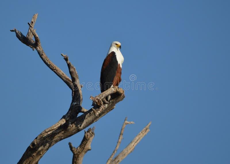 Águila de pescados 1 imagen de archivo libre de regalías