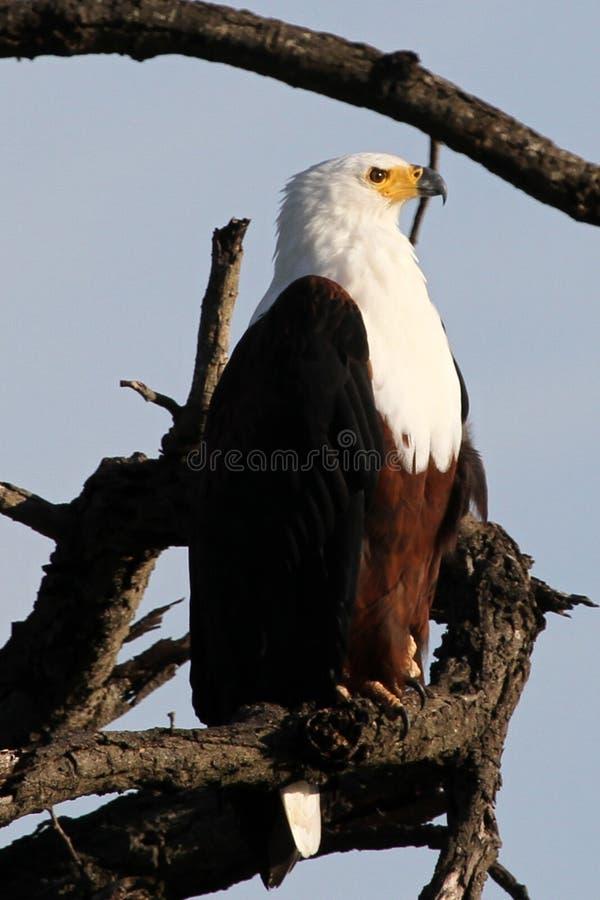 Águila de pescados africana foto de archivo