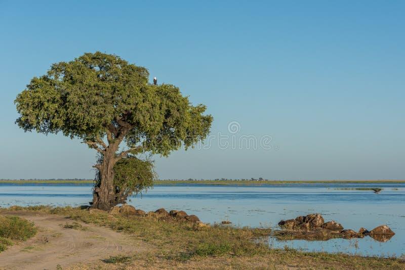 Águila de pescados africana en árbol al lado del río imagen de archivo