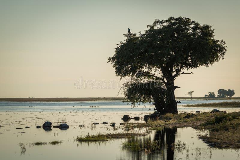Águila de pescados africana en árbol en riverbank fotos de archivo libres de regalías