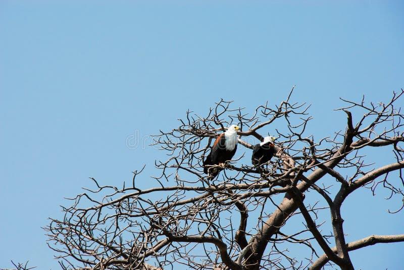 Águila de pescados africana en el río de Rufiji, Selous foto de archivo libre de regalías