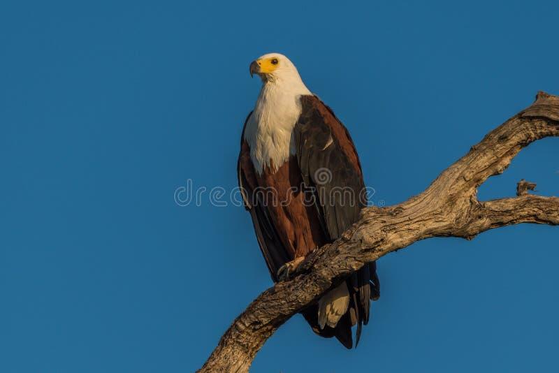 Águila de pescados africana en luz de oro en rama imagen de archivo libre de regalías