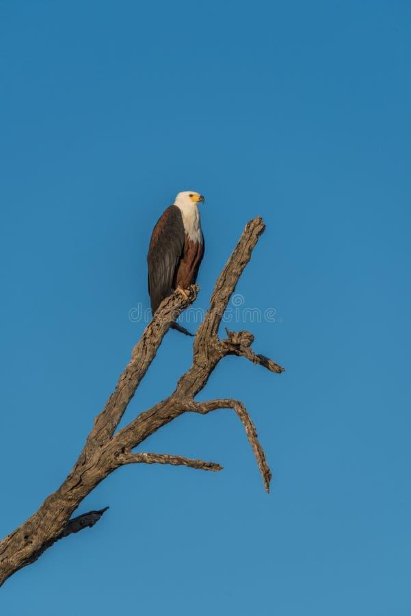 Águila de pescados africana en tocón de árbol muerto fotografía de archivo libre de regalías
