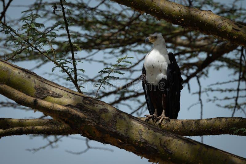 Águila de pescados africana encaramada en rama de árbol foto de archivo libre de regalías