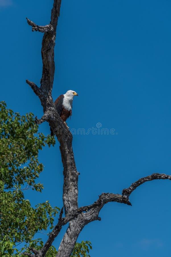 Águila de pescados africana que mira abajo de árbol fotografía de archivo libre de regalías